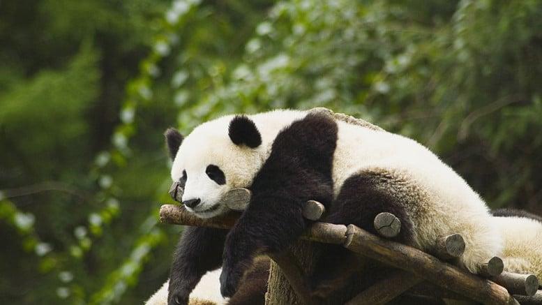 Panda dormido